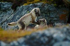 De jongelui bestrijdt leuke kleine vossen Poolvos, Vulpes-lagopus, twee jongelui in de aardhabitat Vossen in grasweide met binnen Royalty-vrije Stock Foto's