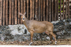 De jongelui goitered gazelle kijkend verdacht in Chiangmai-Dierentuin, Tha Stock Fotografie