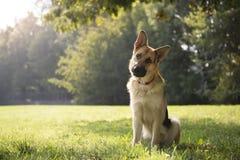De jongelui purebreed Elzassische hond in park Stock Afbeelding