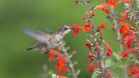 De jongelui robijnrood-Throated Kolibrie die rode Salie bestuiven stock fotografie