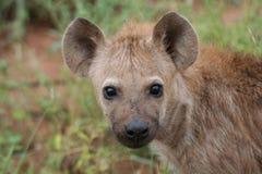 De jongelui van de hyena Stock Afbeeldingen