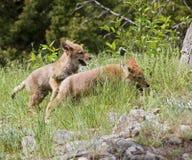 De jongen die van de coyote in gras spelen Stock Afbeelding