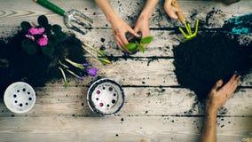 De jongen helpt de bloemen van de oudersinstallatie in potten Close-uphanden die de installatie in potten in de lente bloeit stock video