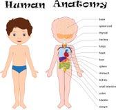De jongen unclothed Menselijke anatomie voor jonge geitjes stock illustratie