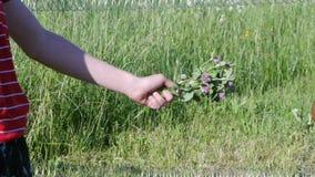 De jongen in weiland geeft de bos van de koeklaver van zijn handen stock footage