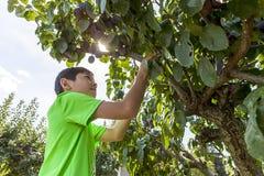 De jongen zoekt pruimen aan oogst Royalty-vrije Stock Afbeelding