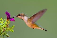 De jongere robijnrood-Throated Kolibrie Stock Foto's