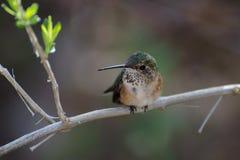 De jongere robijnrood-Throated Kolibrie royalty-vrije stock afbeelding