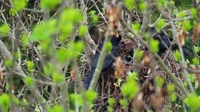 De jongere van het frugilegusvoer van raafcorvus in nest op boombovenkant stock footage