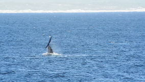De juiste Tik van de Walvisstaart