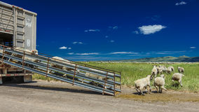 17 de julho de 2016 - os rancheiros dos carneiros descarregam carneiros no Mesa de Hastings perto de Ridgway, Colorado do caminhã Fotos de Stock Royalty Free