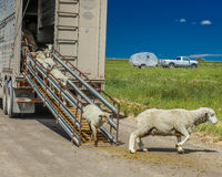 17 de julho de 2016 - os rancheiros dos carneiros descarregam carneiros no Mesa de Hastings perto de Ridgway, Colorado do caminhã Imagem de Stock Royalty Free