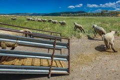 17 de julho de 2016 - os rancheiros dos carneiros descarregam carneiros no Mesa de Hastings perto de Ridgway, Colorado do caminhã Fotos de Stock