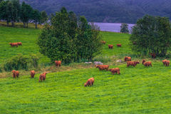26 de julho de 2015: Rebanho de vacas escandinavas perto de Roros, Noruega Imagem de Stock