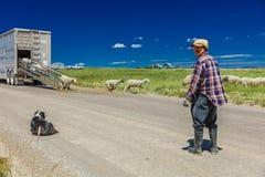 17 de julio de 2016 - el pastor de las ovejas descarga ovejas en el Mesa de Hastings cerca de Ridgway, Colorado del camión Fotografía de archivo libre de regalías