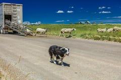 17 de julio de 2016 - los rancheros de las ovejas descargan ovejas en el Mesa de Hastings cerca de Ridgway, Colorado del camión Imágenes de archivo libres de regalías