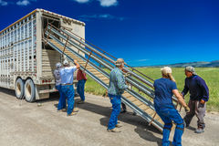 17 de julio de 2016 - los rancheros de las ovejas descargan ovejas en el Mesa de Hastings cerca de Ridgway, Colorado del camión Imagenes de archivo