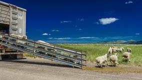 17 de julio de 2016 - los rancheros de las ovejas descargan ovejas en el Mesa de Hastings cerca de Ridgway, Colorado del camión Fotos de archivo libres de regalías