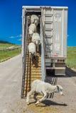 17 de julio de 2016 - los rancheros de las ovejas descargan ovejas en el Mesa de Hastings cerca de Ridgway, Colorado del camión Fotos de archivo