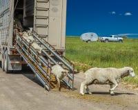 17 de julio de 2016 - los rancheros de las ovejas descargan ovejas en el Mesa de Hastings cerca de Ridgway, Colorado del camión Imagen de archivo libre de regalías