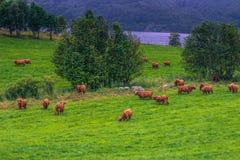 26 de julio de 2015: Manada de vacas escandinavas cerca de Roros, Noruega Imagen de archivo