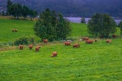 26 de julio de 2015: Manada de vacas escandinavas cerca de Roros, Noruega Imágenes de archivo libres de regalías