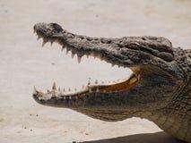 De kaak van de krokodil Stock Foto