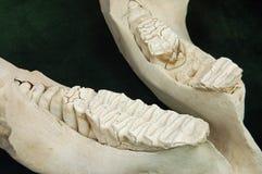 De kaak van de olifant Stock Afbeelding