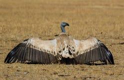 De kaapgier met vleugels spreidde open uit Royalty-vrije Stock Fotografie