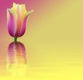 De kaarttulp van de bloem op roze en gele achtergrond Stock Foto