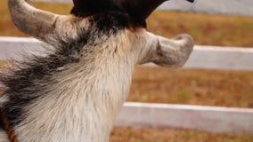 De kabel bond bruine geit Sluit omhoog, stock video