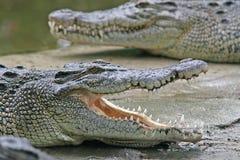 De kaken van de krokodil stock foto