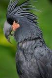 De Kaketoe van de palm Royalty-vrije Stock Foto's