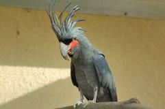 De Kaketoe van de palm Royalty-vrije Stock Afbeeldingen