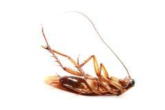 De Kakkerlak van de dood Royalty-vrije Stock Foto