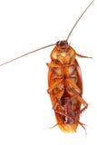 De Kakkerlak van de dood Royalty-vrije Stock Foto's