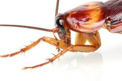 De Kakkerlak van de dood Stock Foto's