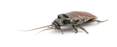 De Kakkerlak van het Gesis van Madagascar, Gromphadorhina Royalty-vrije Stock Fotografie