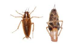 De kakkerlak van het insect stock afbeelding