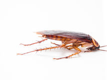 De kakkerlakken dragen ziekten die u moet elimineren royalty-vrije stock afbeeldingen