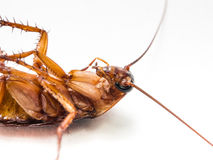 De kakkerlakken dragen ziekten die u moet elimineren royalty-vrije stock foto