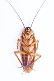 De kakkerlakken kunnen ten val brengen royalty-vrije stock foto's