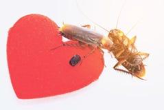 De kakkerlakken met rode haard, ontkoppelen in liefdeconcept, vertrokken gehouden van stock fotografie