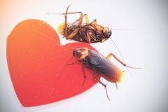 De kakkerlakken met rode haard, ontkoppelen in liefdeconcept, vertrokken gehouden van royalty-vrije stock foto's