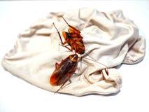 De kakkerlakken zijn op damesondergoed royalty-vrije stock afbeelding
