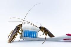 De kakkerlakken zijn op de tandenborstel op een witte achtergrond De kakkerlakken zijn op de tandenborstel op een witte achtergro stock afbeelding