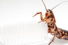 De kakkerlakken zijn in de tandenborstel op witte achtergrond royalty-vrije stock fotografie