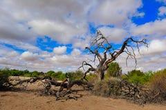 De Kalahari (Botswana) Royalty-vrije Stock Fotografie