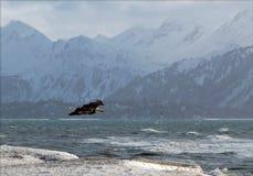 De kale adelaar van Alaska stock foto