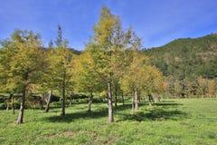 De kale bomen van de Cipres Stock Foto's